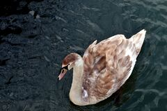 Swan Floating in Water Royalty Free Stock Photography