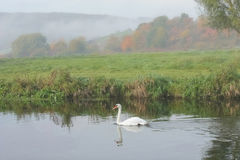 Swan floating on water. In foggy autumn landscape Royalty Free Stock Photos