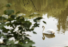 Swan floating on the water in nature Stock Photography