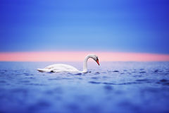 Swan floating on the water at sunrise of the day Stock Photos