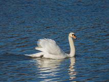 Swan floating on water surface. At Prague Royalty Free Stock Photography
