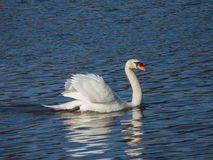 Swan floating on water surface. Of Vltava Stock Image
