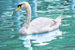 Swan floating on the water. Stock Photo