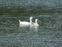 White swan on a pond royalty free stock photos
