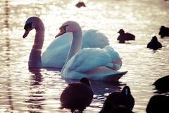 Swan floating on the water at winter time. Royalty Free Stock Photography