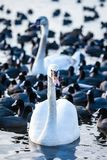 Swan floating on the water at winter time. Stock Image
