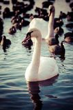 Swan floating on the water at winter time. Stock Photo