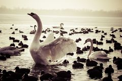 Swan floating on the water at winter time. Royalty Free Stock Photos