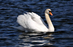 The swan floats on a reservoir Royalty Free Stock Photo