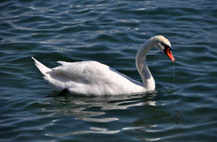 The swan floats on a reservoir Royalty Free Stock Image