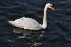 The swan floats on a reservoir Stock Image