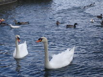 The swan floats on a reservoir Royalty Free Stock Photography
