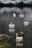 Swan flock Stock Images