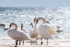Swan flock Stock Photography