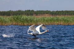 Swan fly over blue water Stock Photo