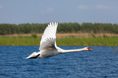 Swan fly over blue water Stock Images