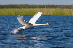 Swan fly over blue water Stock Photos