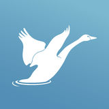 Swan fly over the river Royalty Free Stock Photography