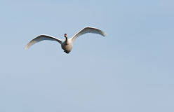 Swan flying. A swan seen flying overhead Royalty Free Stock Image