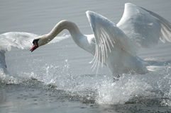 Swan flying. Off from lake Stock Photos