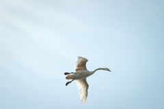 Swan flying Stock Image