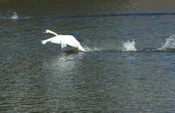 Swan flying. Swan taking off and flying away Stock Images