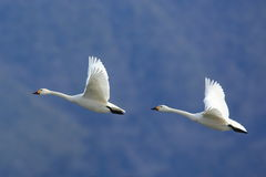 Swan in flying Stock Image
