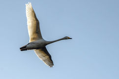 Swan. Flying by, above river in Finland Royalty Free Stock Photography