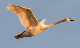 A swan flying Royalty Free Stock Images