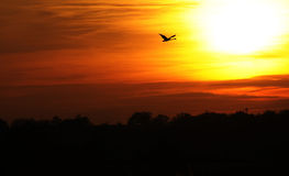 Swan flying in colorful sunset Royalty Free Stock Images