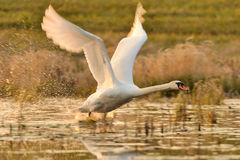 Swan flying over lake. White swan taking off or landing on lake in countryside Royalty Free Stock Photography