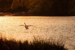Swan Flying Over Lake At Sunset Stock Image