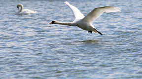 Swan flying over the River Danube Stock Photo