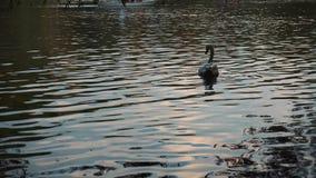 Swan flyter på sjön stock video
