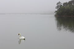 Swan in Fog Morning Royalty Free Stock Photography