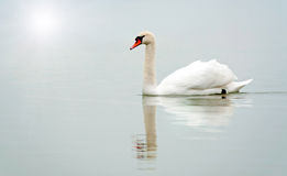 Swan in the foggy morning Royalty Free Stock Photos