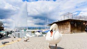 Swan and fountain Stock Photos