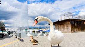 Swan and fountain Royalty Free Stock Image