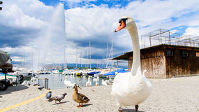 Swan and fountain Stock Images