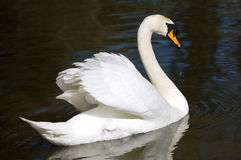 Swan in freedom Royalty Free Stock Image
