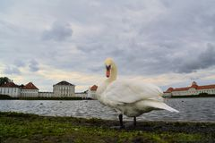 Swan in front of Schloss Nymphenburg palace Stock Images