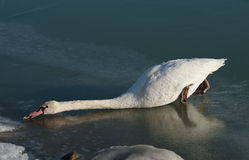 Swan on frozen lake. Try to catch a piece of bread Royalty Free Stock Photo