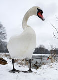 Swan on frozen lake Stock Images