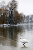 Swan on frozen lake Royalty Free Stock Image