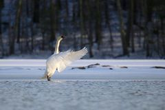 Swan on the Frozen Lake in Winter