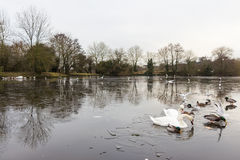 Swan in a frozen lake in the winter Royalty Free Stock Photography