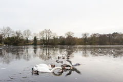 Swan in a frozen lake in the winter Stock Image