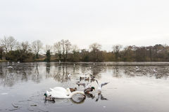 Swan in a frozen lake in the winter Royalty Free Stock Photo