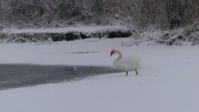 Swan in frozen water stock photography