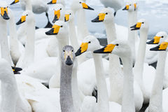 Swan. A gaggle of hungry swan look on attentively in the hope of food Stock Image